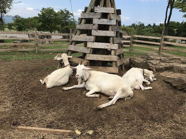 敷地内にはミニファーム♪羊が気持ちよさそうに寝ておりますね♪