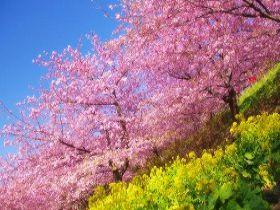 早咲きの「河津桜」で有名なエリア!