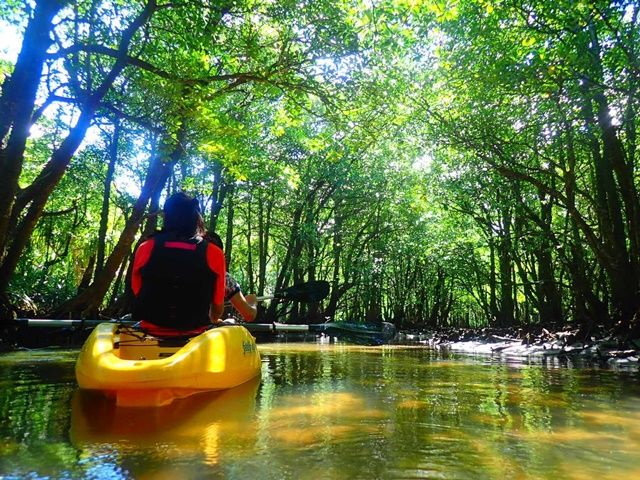 西表島の定番と言えば、マングローブカヌー!穏やかな清流の上をゆったり漕ぎながらお客様ご案内