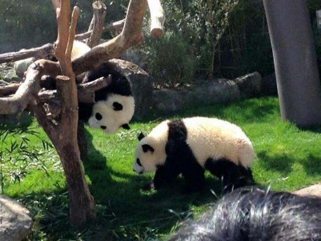 アドベンチャーワールドでパンダに会えますよ!(^^)!