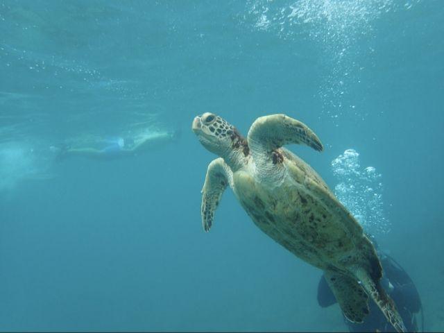 ウミガメの産卵地でも有名な屋久島☆ダイビングするとウミガメに会えるかも!!